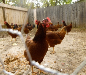 Squabble-Squabble-Cluck-Cluck: Raising Chickens